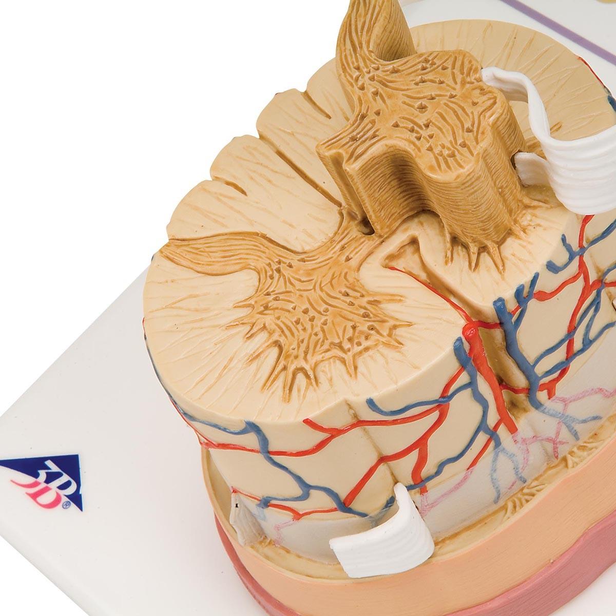 Rückenmark mit Nervenenden