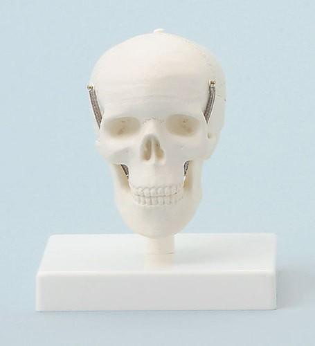 Miniatur-Schädel, mit Stativ