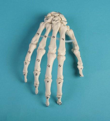 Handskelett mit Knochennummerierung