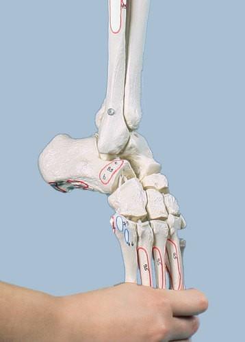 Beinskelett mit Beckenhälfte und flexiblem Fuß, mit Muskelmarkierungen