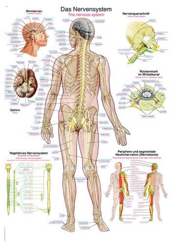 """Lehrtafel """"Das Nervensystem"""""""