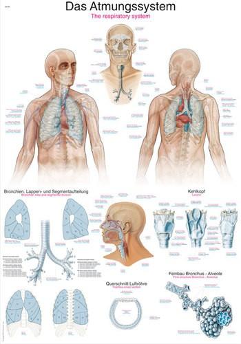 """Lehrtafel """"Das Atmungssystem"""""""