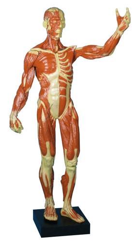 Muskelfigur, ⅓ natürliche Größe