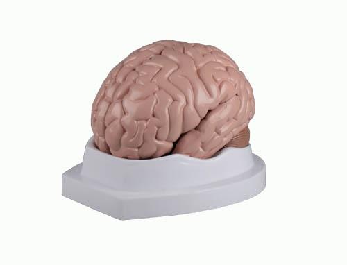 Gehirn, 5-teilig