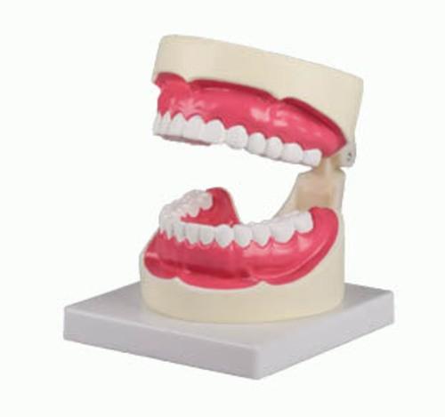 Zahnpflegemodell, 1,5-fache Größe