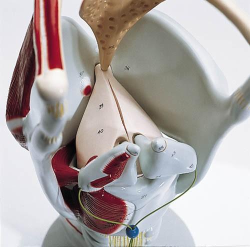 Funktions-Kehlkopf, 4-fache Größe