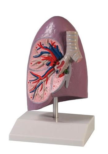 Lungenhälfte, natürliche Größe