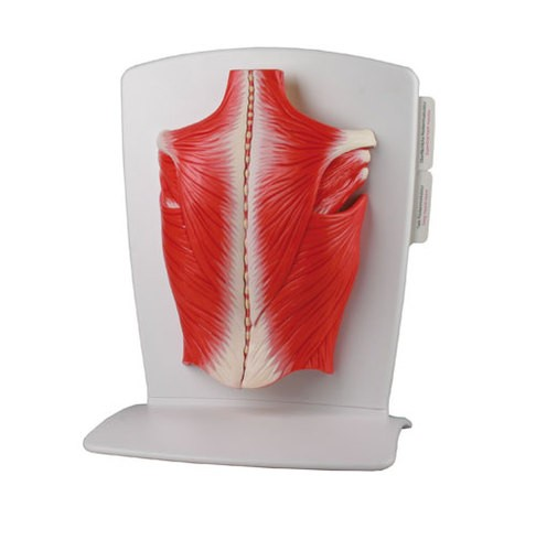 Rückenmuskulatur Modell, 4-teilig