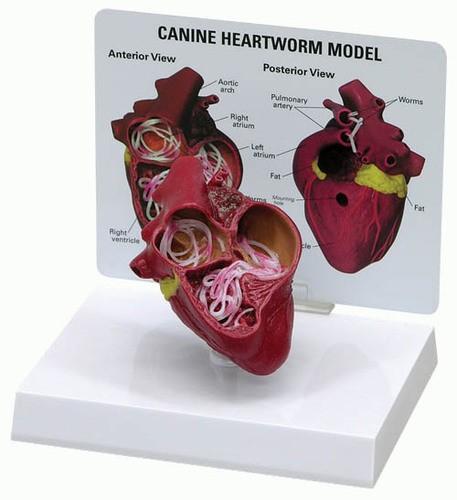 Hundeherz mit Herzwurm