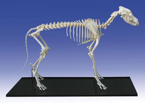 Echtes Hundeskelett, montiert, mittelgroßer Hund