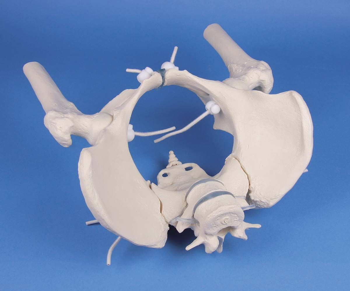 Weibliches Becken mit Kreuzbein, 2 Lendenwirbeln und Oberschenkelstümpfen, flexibel 1