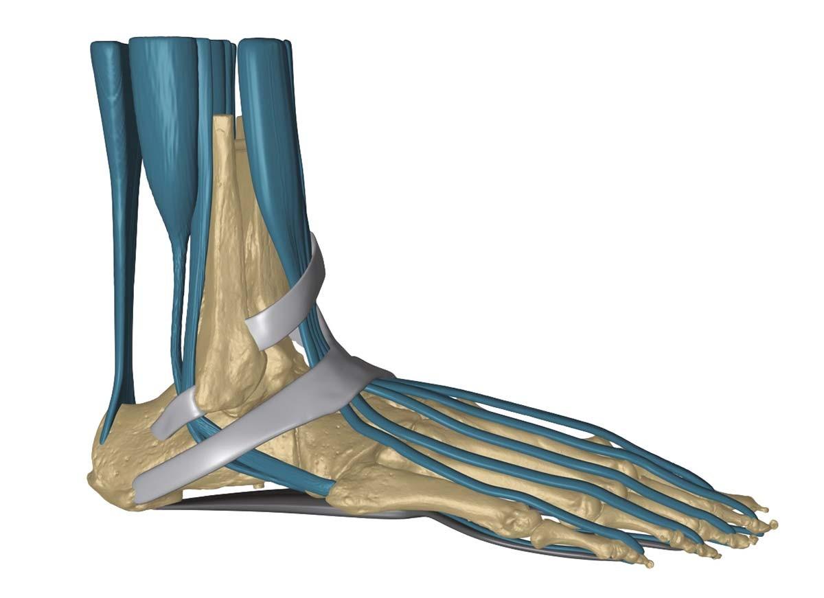 Fußskelett mit Bändern 1