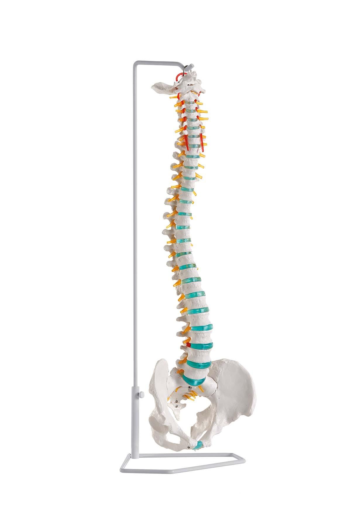 Flexible Wirbelsäule 1