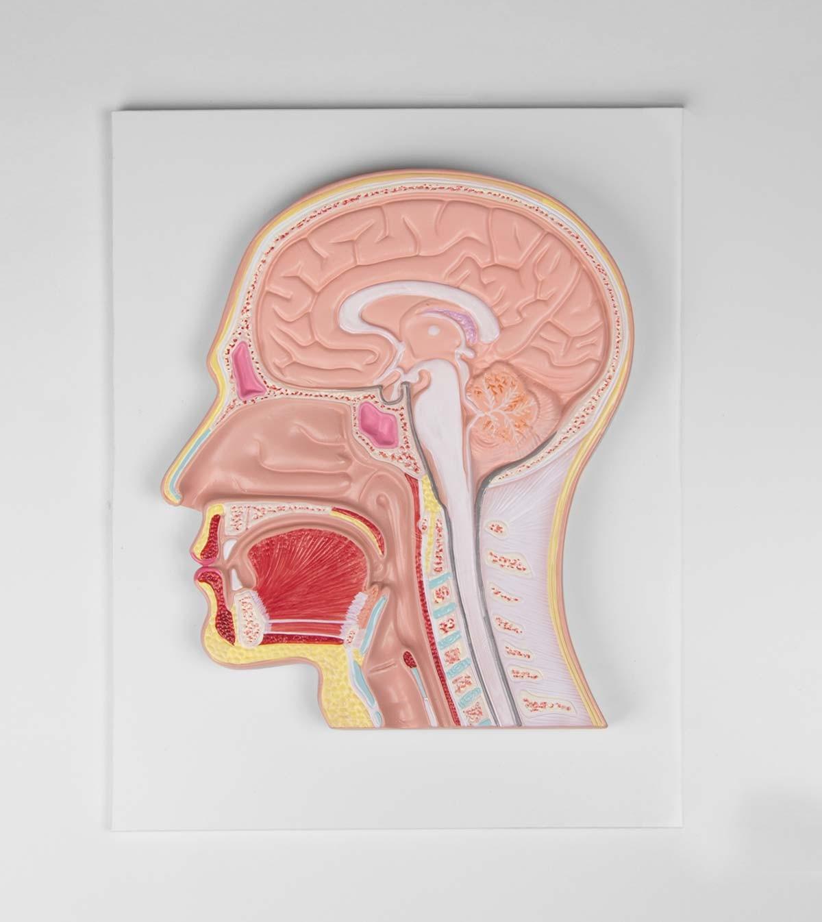 Medianschnitt des Kopfes (Reliefmodell) 1