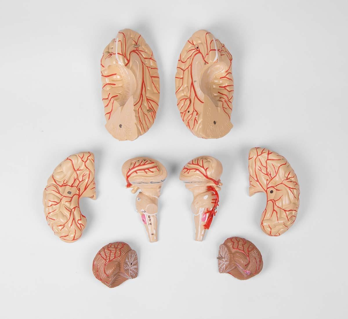 Gehirnmodell, 9-teilig mit Arterien 1