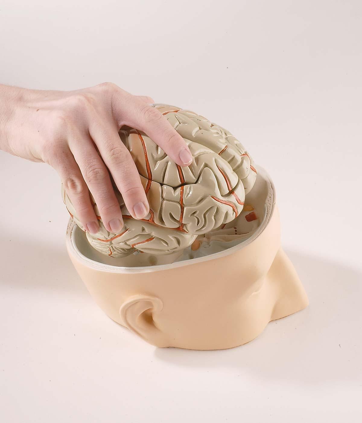 Kopfbasis mit 7-teiligem Gehirn 1