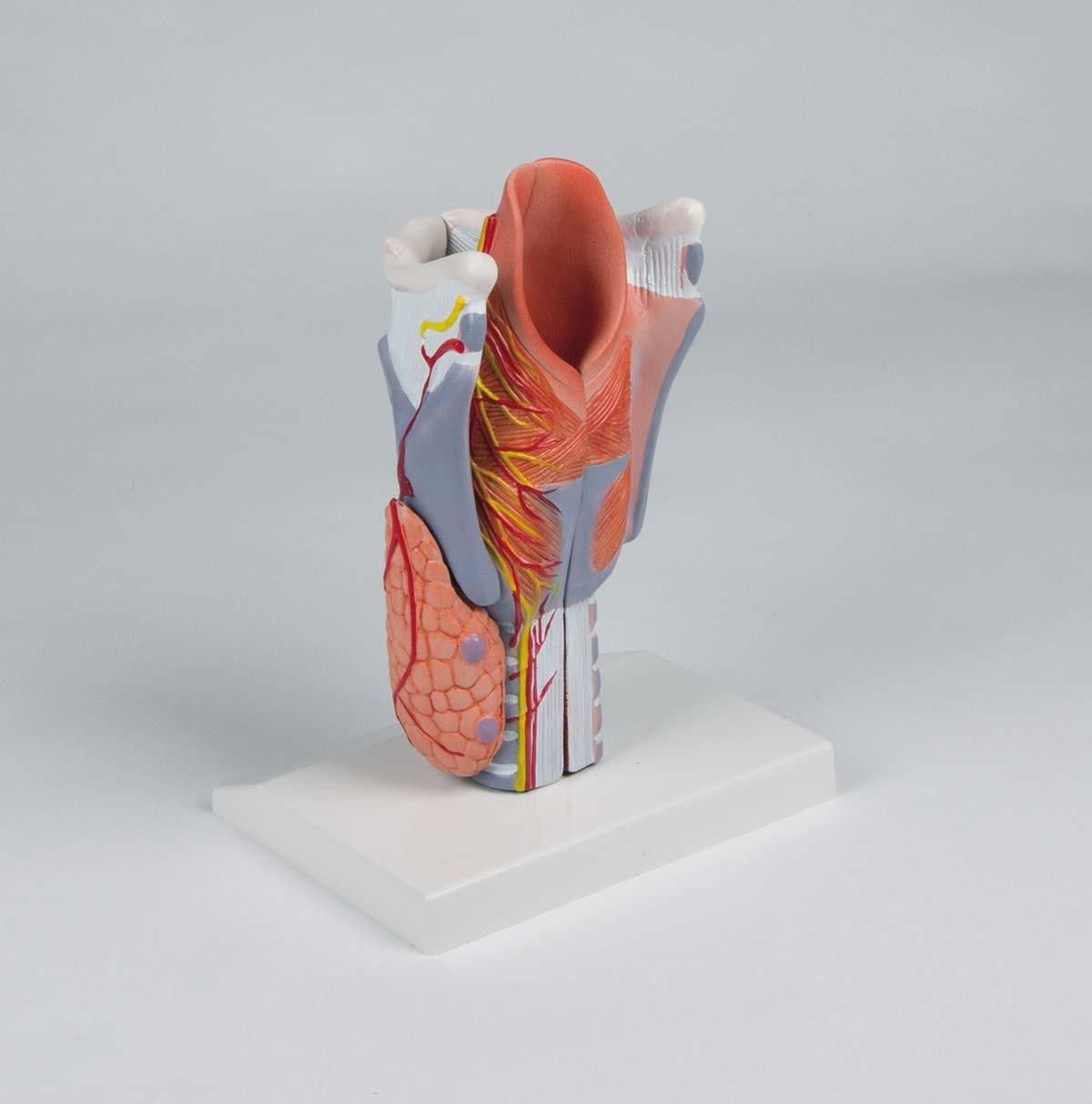 Kehlkopfmodell, 2-fache Größe, 5-teilig 1
