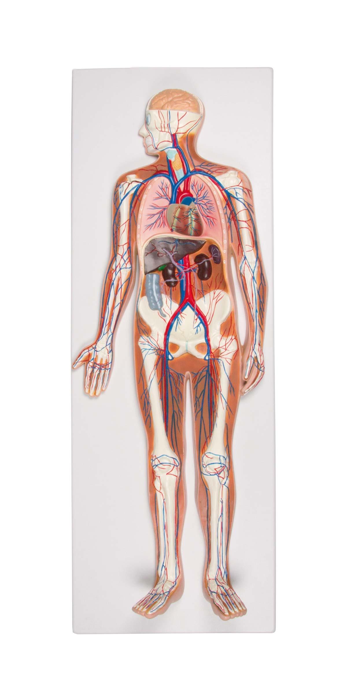 Blutkreislauf Reliefmodell, ½ natürliche Größe, 2-teilig