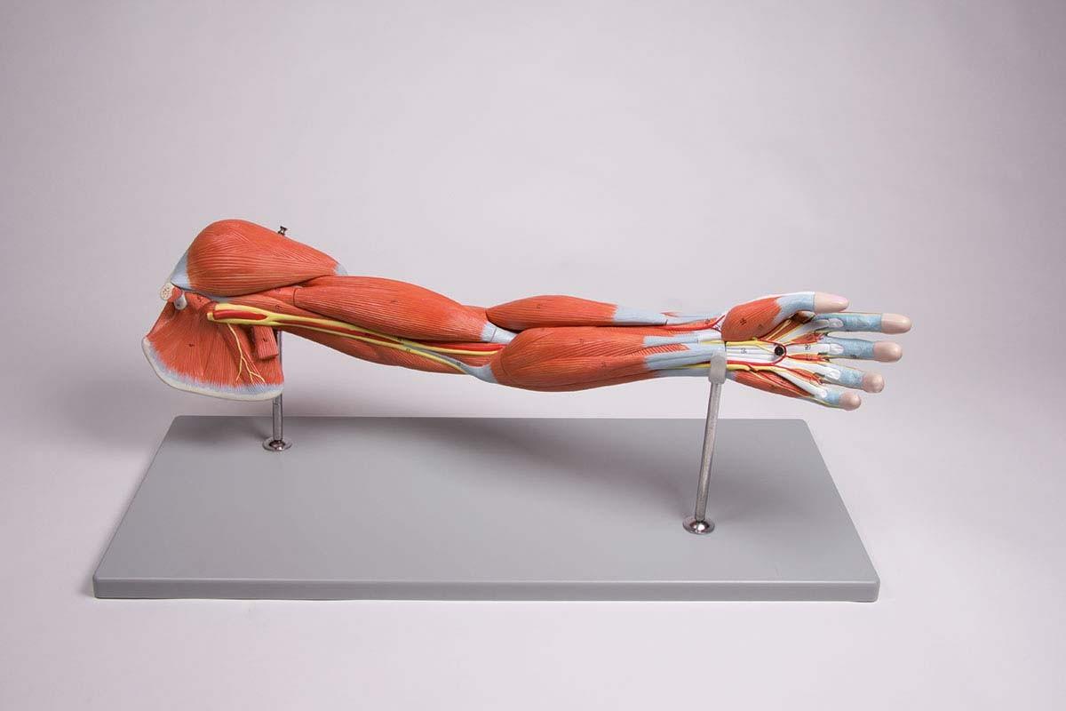 Armmuskulatur, 7-teilig 1