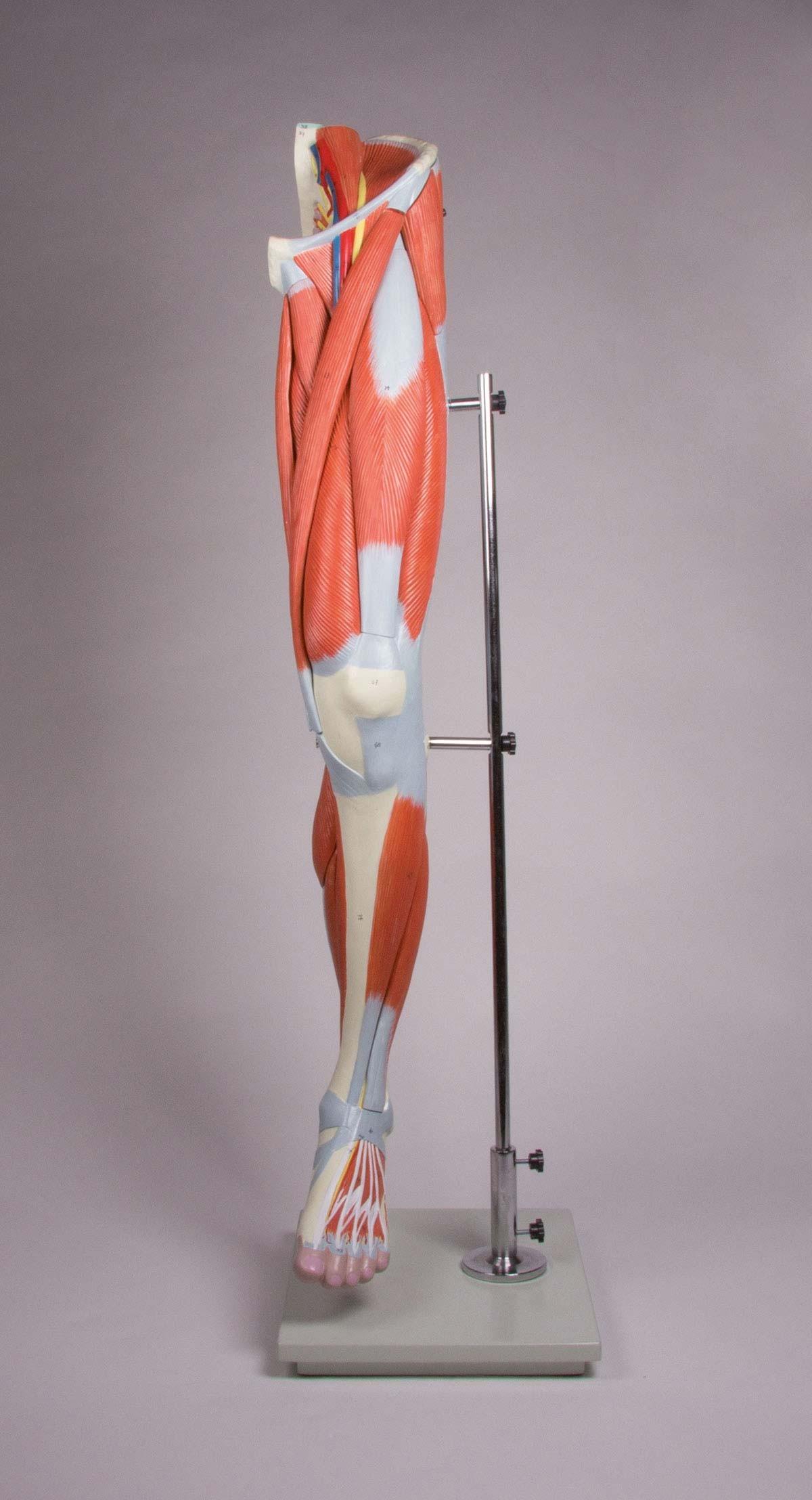 Beinmuskulatur, 13-teilig 1