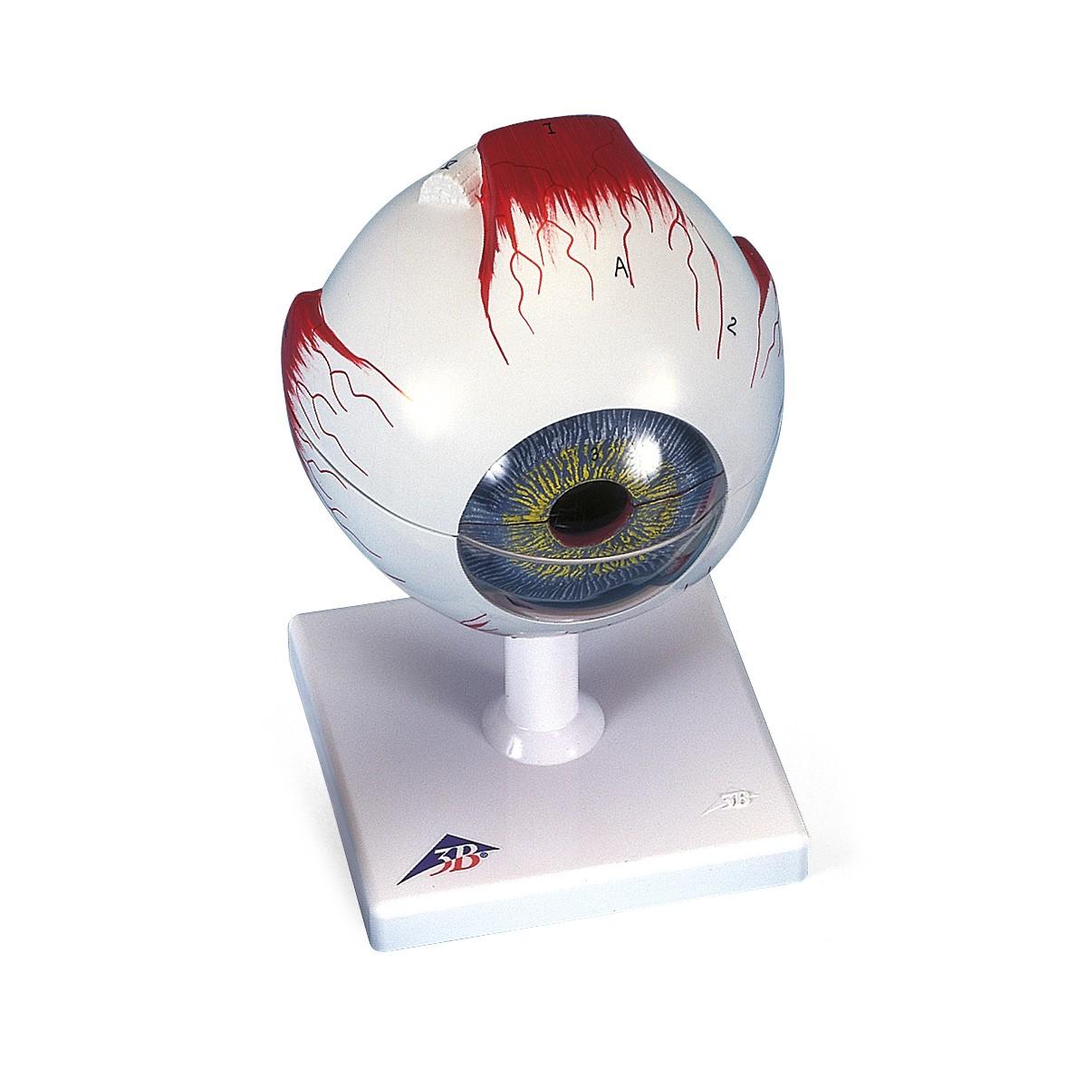 Auge, 5-fache Größe, 6-teilig