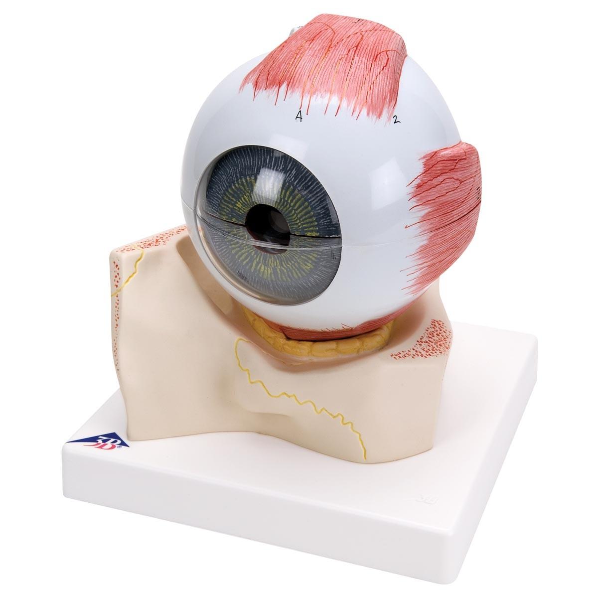 Auge, 5-fache Größe, 7-teilig