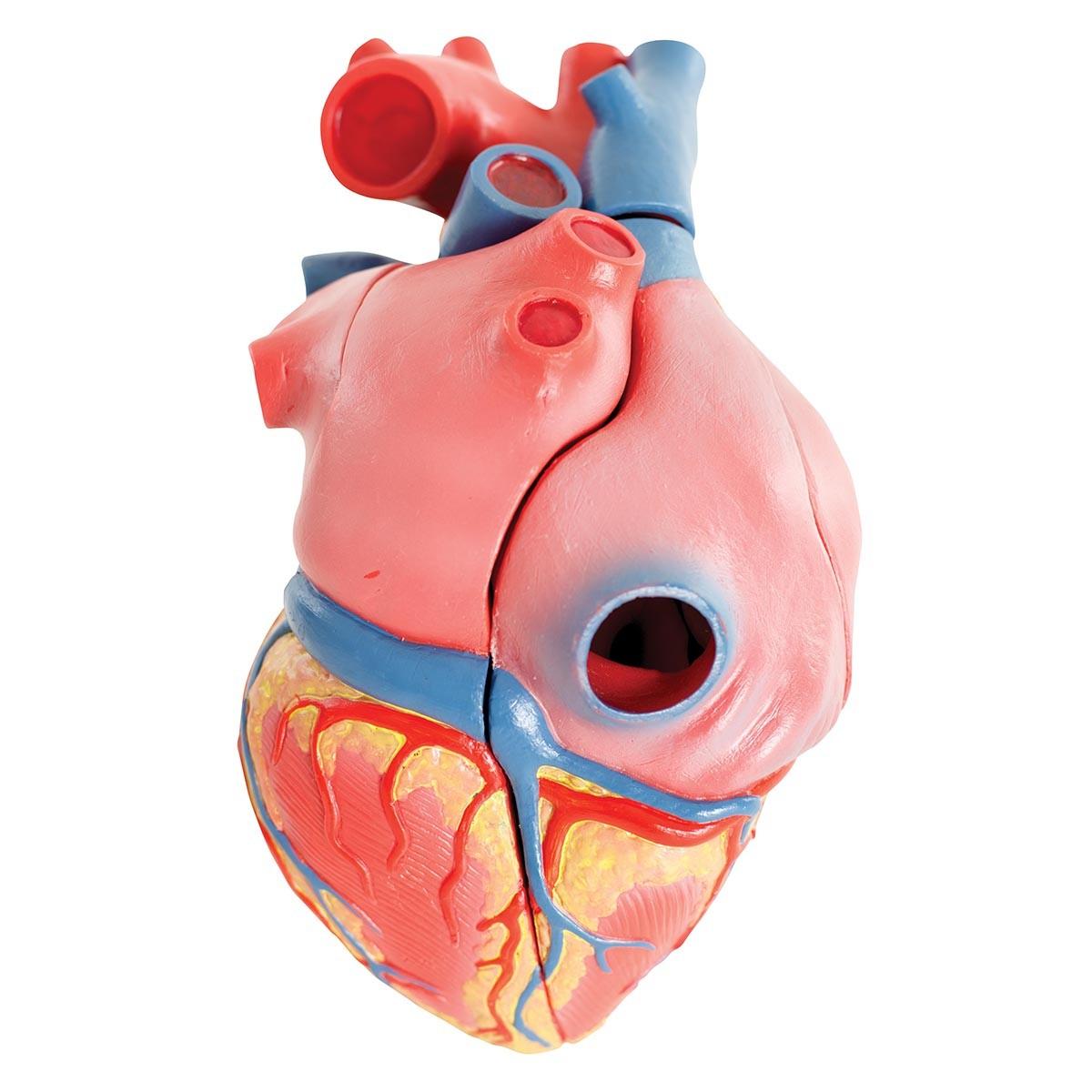 Herzmodell