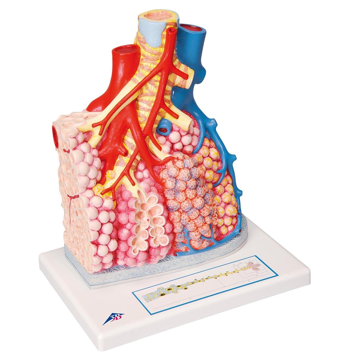 Lungenläppchen mit umgebenden Blutgefäßen