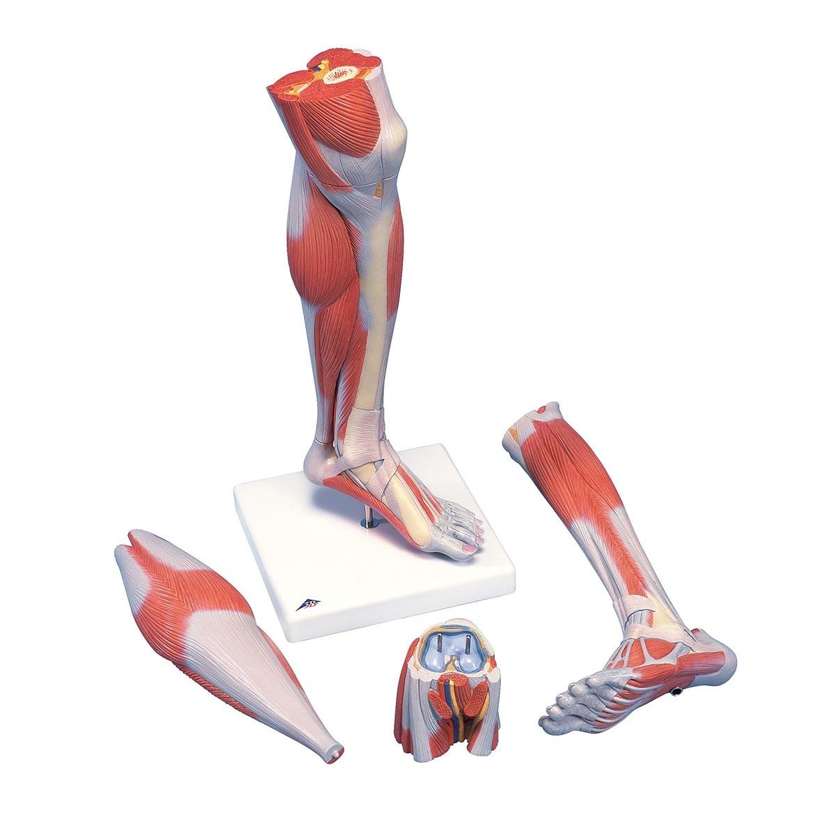 Luxus-Muskelunterbein, 3-teilig