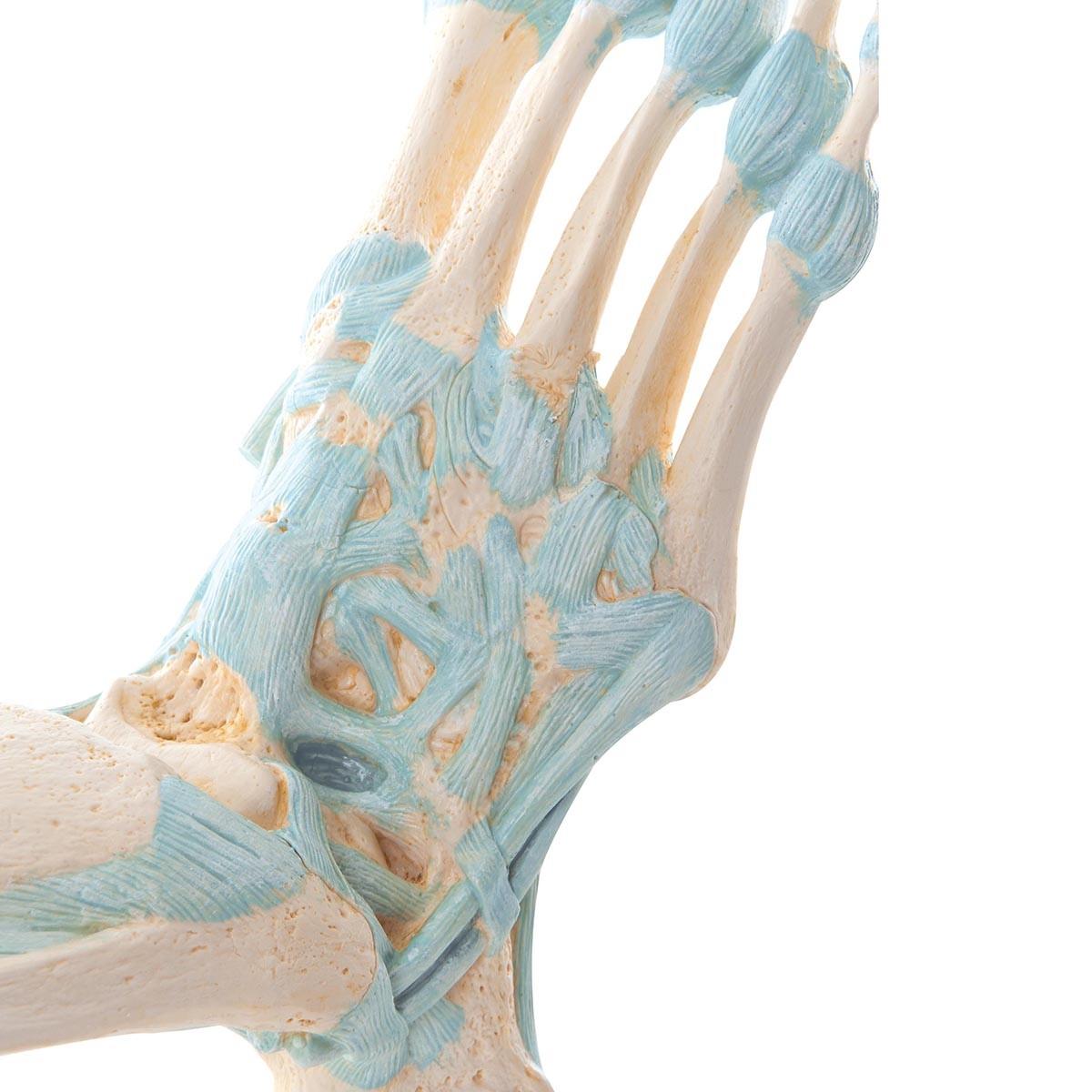 Modell des Fußskeletts mit Bändern