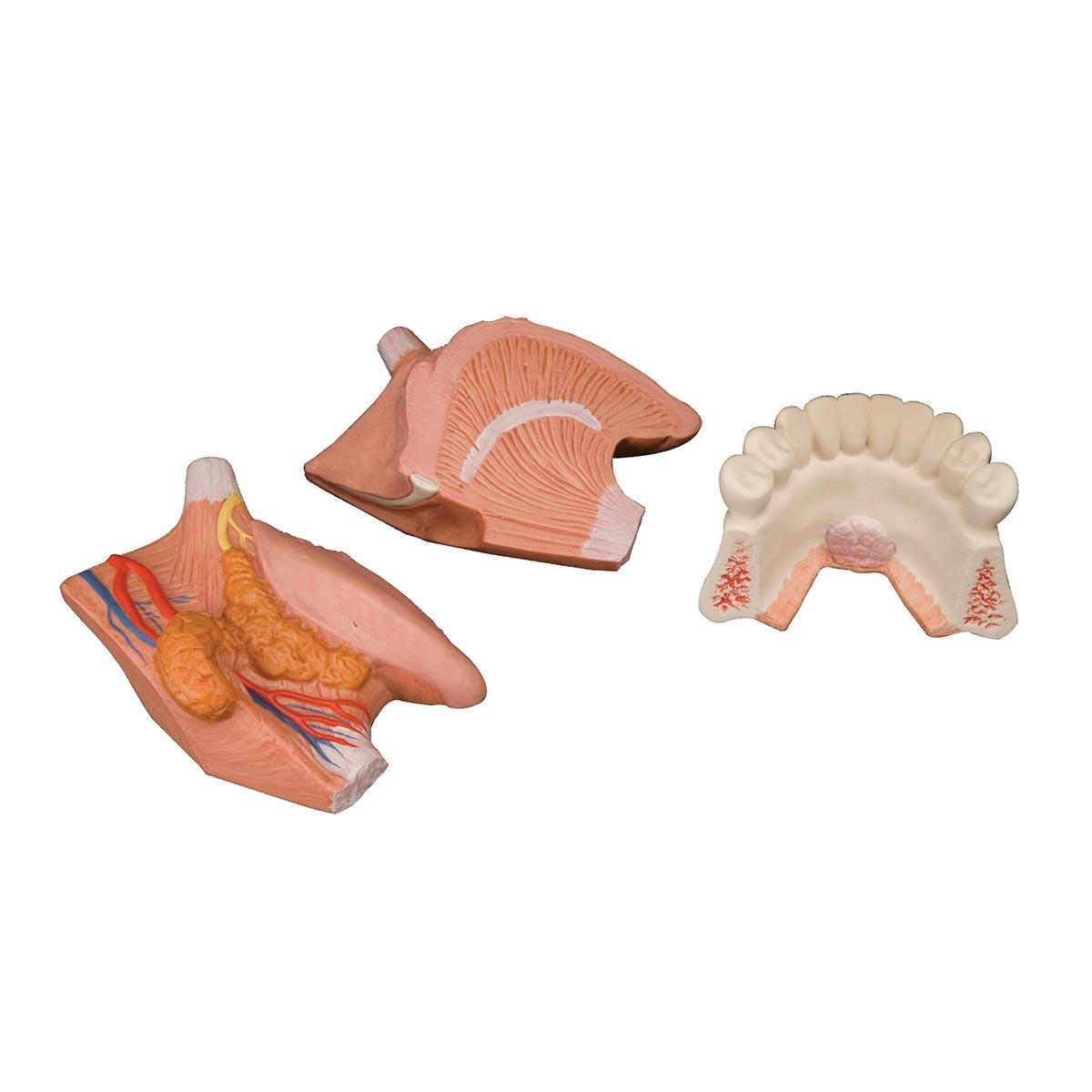 Zungenmodell, 2.5-fache Größe, 4-teilig