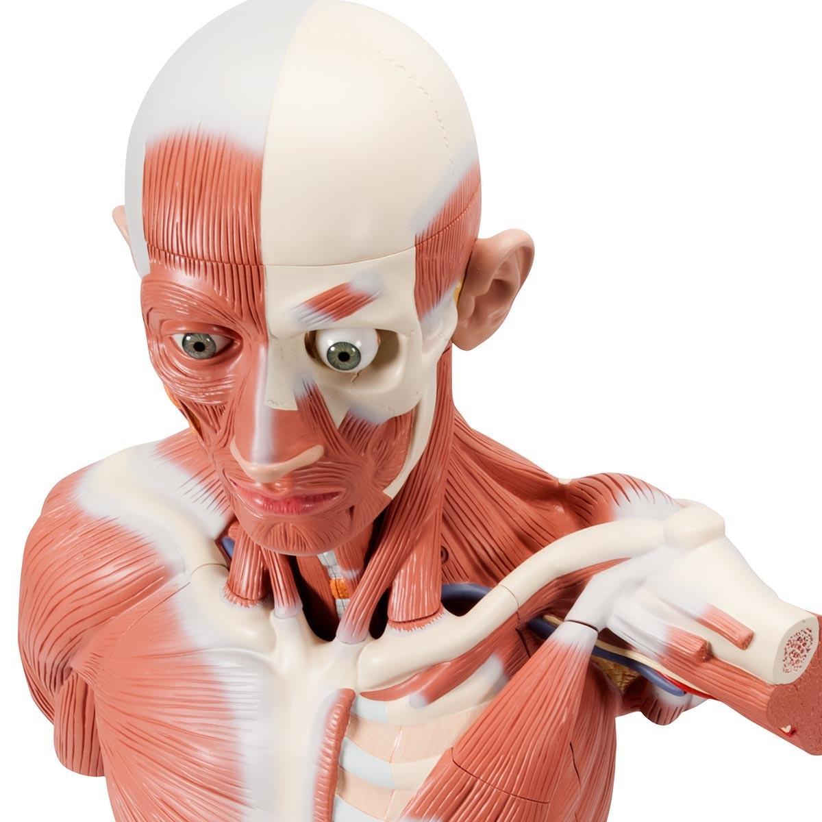 Lebensgroße männliche Muskelfigur, 37-teilig