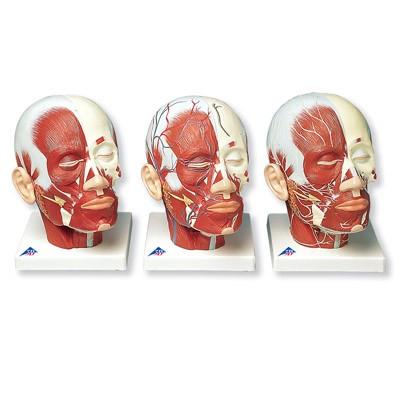 Kopfmuskulatur
