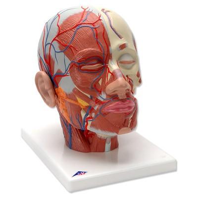 Kopfmuskulatur mit Blutgefäßen