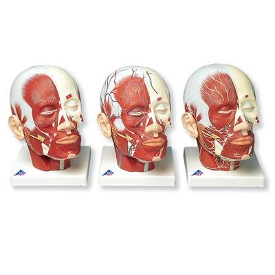 Kopfmuskulatur mit Nerven