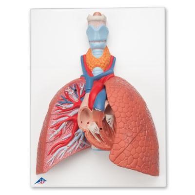 Lunge mit Kehlkopf, 5-teilig