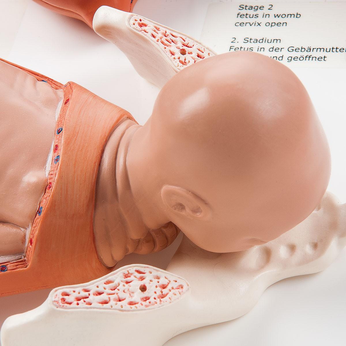 Geburtsstadien Modell