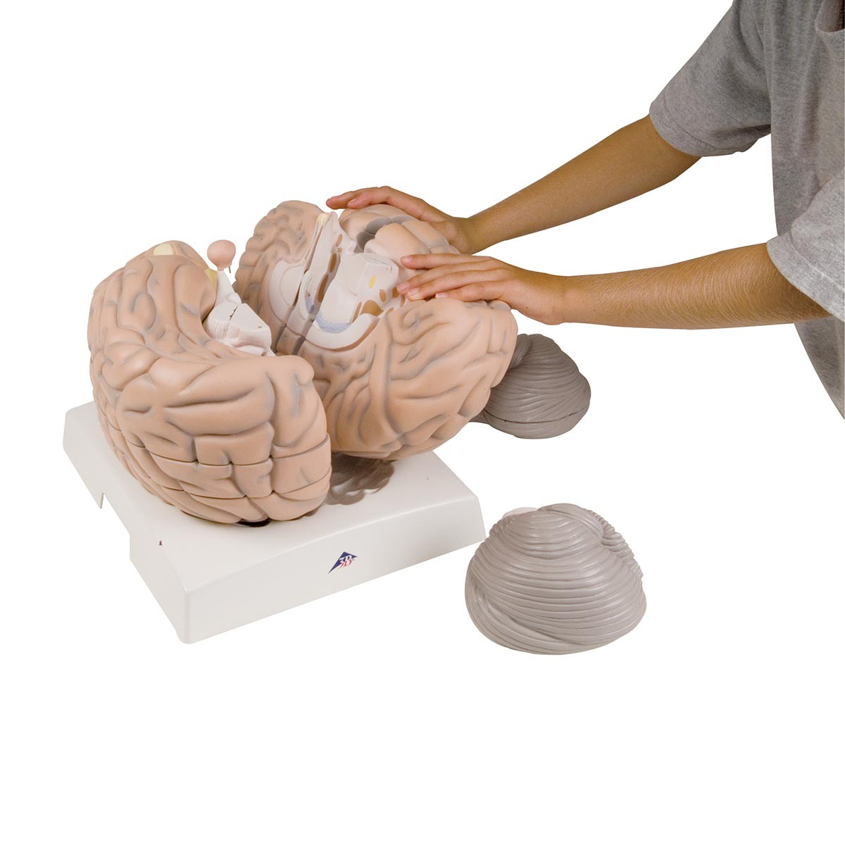 Mega Gehirn Modell
