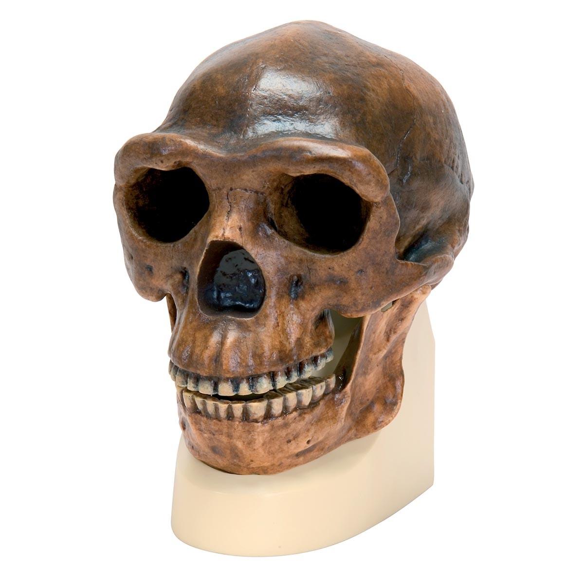 Anthropologischer Schädel - Sinanthropus