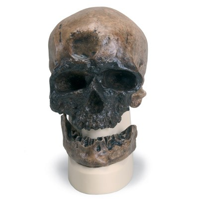 Anthropologischer Schädel - Cro Magnon