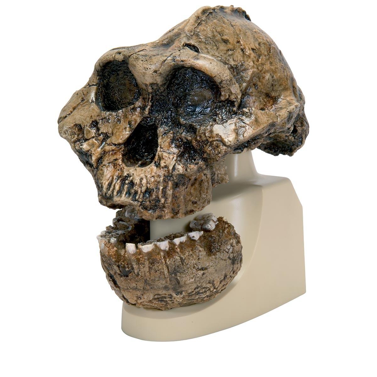 Anthropologischer Schädel - KNM-ER 406 (Australopithecus Boisei)