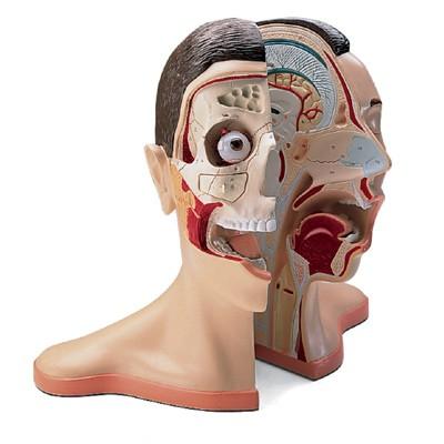 Kopf Modelle - Anatomiemodelle online kaufen | Anatomy-Online