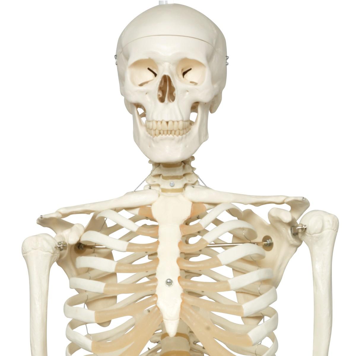Skelett Modell Stan auf 5-Fuß-Hängestativ