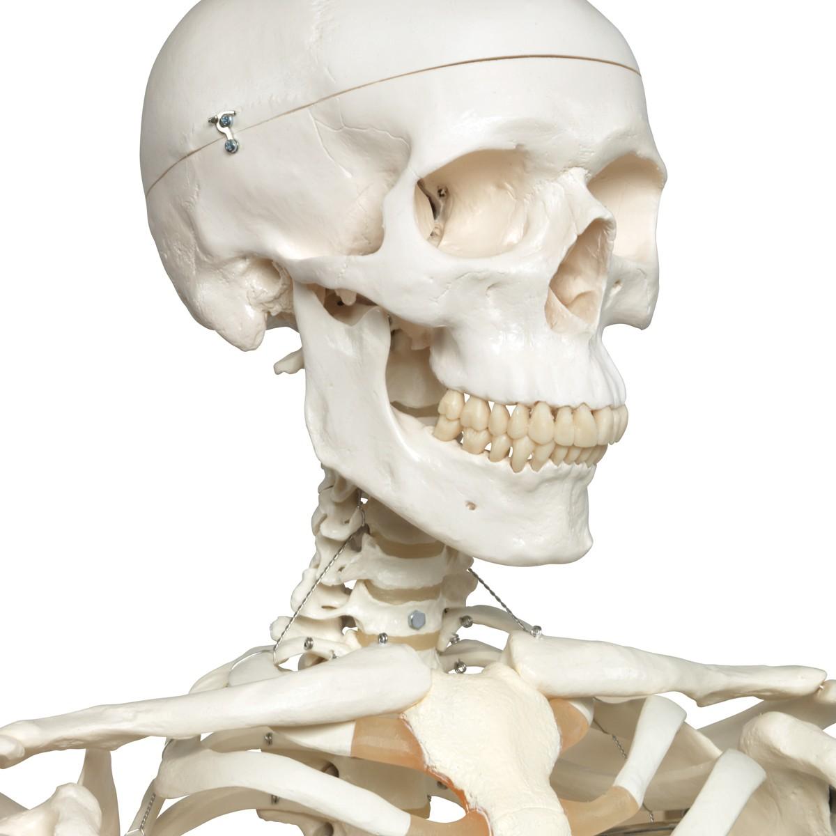 Anatomiemodell - Skelettmodell Stan - Schädelmodelle
