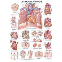 """Lehrtafel """"Das menschliche Herz"""""""