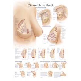 """Lehrtafel """"Die weibliche Brust"""""""