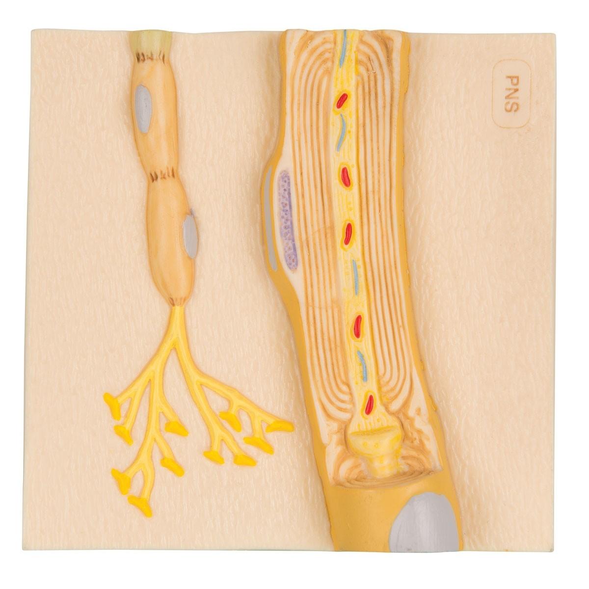 Markscheiden des peripheren Nervensystems