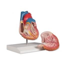 Herzmodell, 2-teilig mit Reizleitungssystem