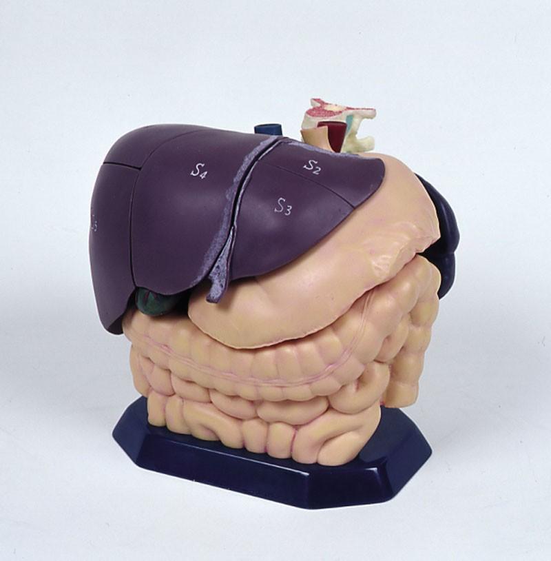 Set Ultraschallmodell und Anatomiemodell