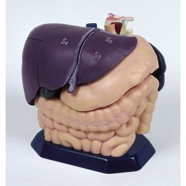 Anatomisches Modell für Ultraschallausbildung